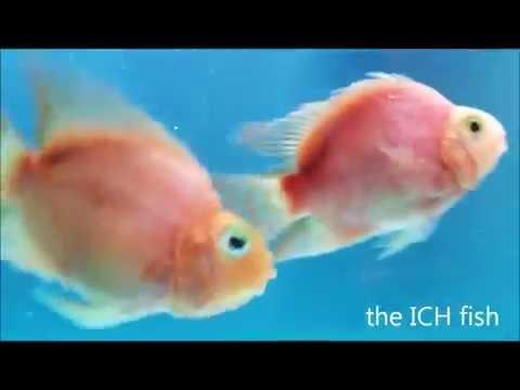 Blood Parrot Cichlids W/ Black Fungus & White ICH