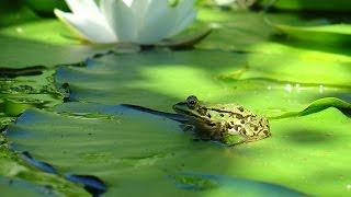 La grenouille et les têtards - Jacky Galou