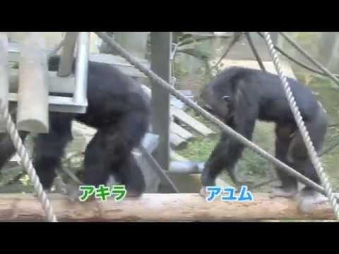 スマホが手放せなくなってしまったチンパンジーの様子が可愛い件について