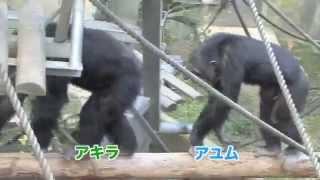 犬山市にある京都大学霊長類研究所。ことばや数を覚えたチンパンジー、...