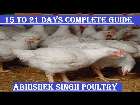 15 to 21 days ! poultry medicine ! poultry vaccine ! abhishek singh poultry