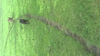 Staffordshire Bullterrier X English Bulldog 13 Wks