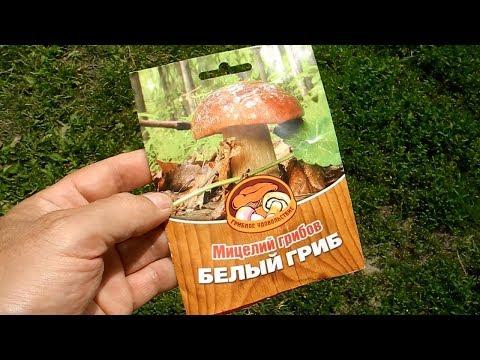 Выращивание грибов на даче, размножение спорами маслят