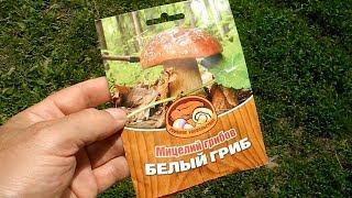 Мицелий белых грибов,и смотрите что будет