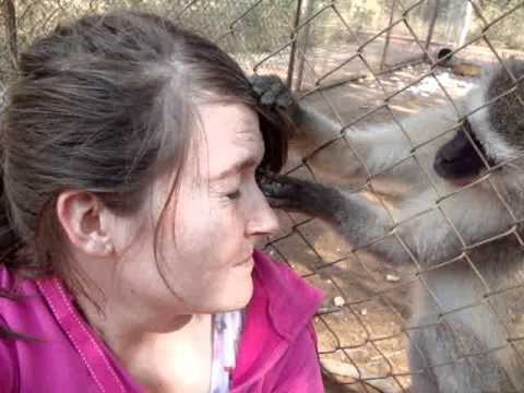 Being groomed by a vervet monkey