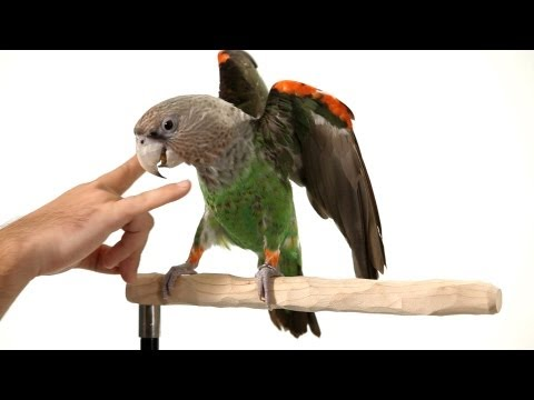 How to Teach Parrot the Big Eagle Trick | Parrot Training