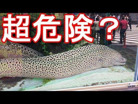 アキーラさん観察!巨大なドクウツボ(ウツボの1種) !Giant moray