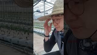 청양고추 양액재배 사이드유인줄과 떡잎떼어주기