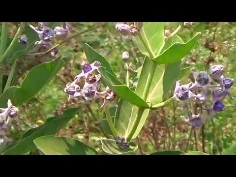 Holy Tree of Hindus Violet Flowers Rui,Mandara,Milkweed,Calotropis gigantea