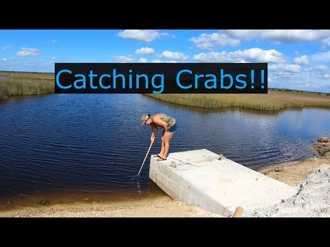 Catching Blue Crabs By Dip Net And Hand Line. Catch And Cook!