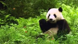 Cute Panda Animated Wallpaper http://www.desktopanimated.com screenshot 2