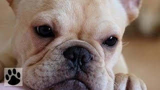 Породы собак - Французский бульдог. [French Bulldog (Dog Breed)]