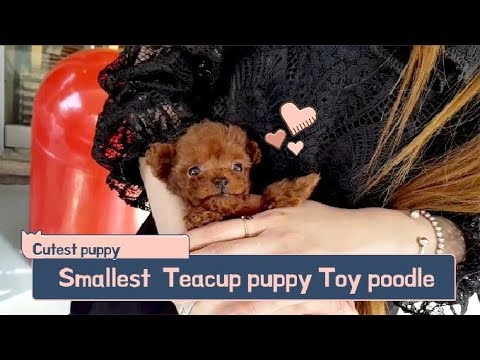 Red teddy bear poodle mini size - Teacup puppies KimsKennelUS