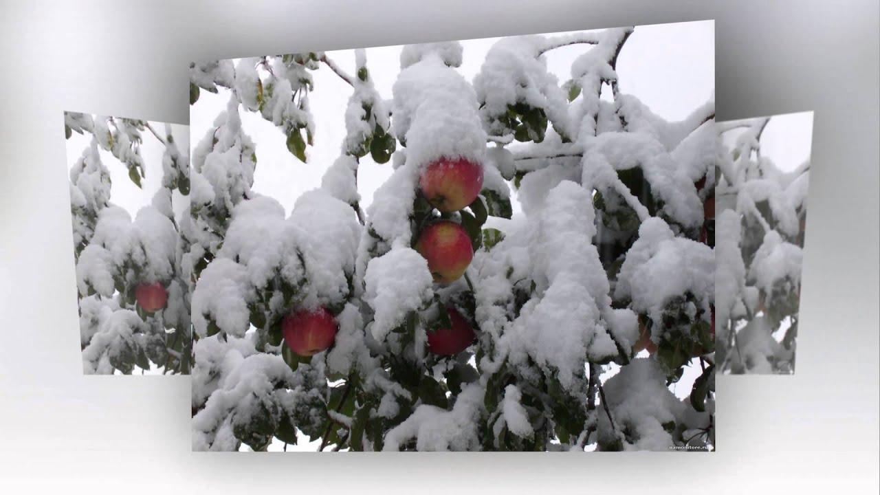 фото яблоки спартак