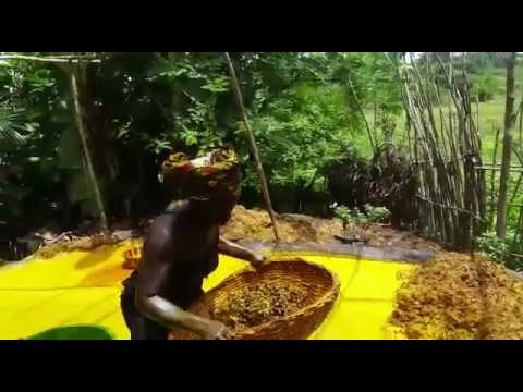 Mende Women Making Palm Oil in Sierra Leone