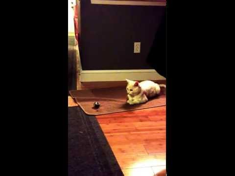 Snowy,my White Rescue Cat, Only Comes Out At Night, Plays With Toys, Major Cuteness