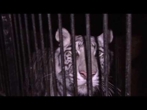 В Оренбургской обалсти на трассе Москва Челябинск в ДТП попали пять тигров