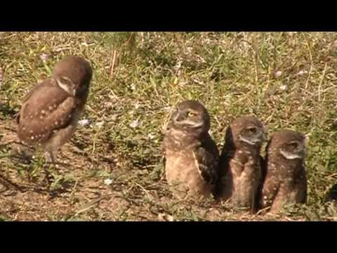 Burrowing Owl Family with 5 Owlets