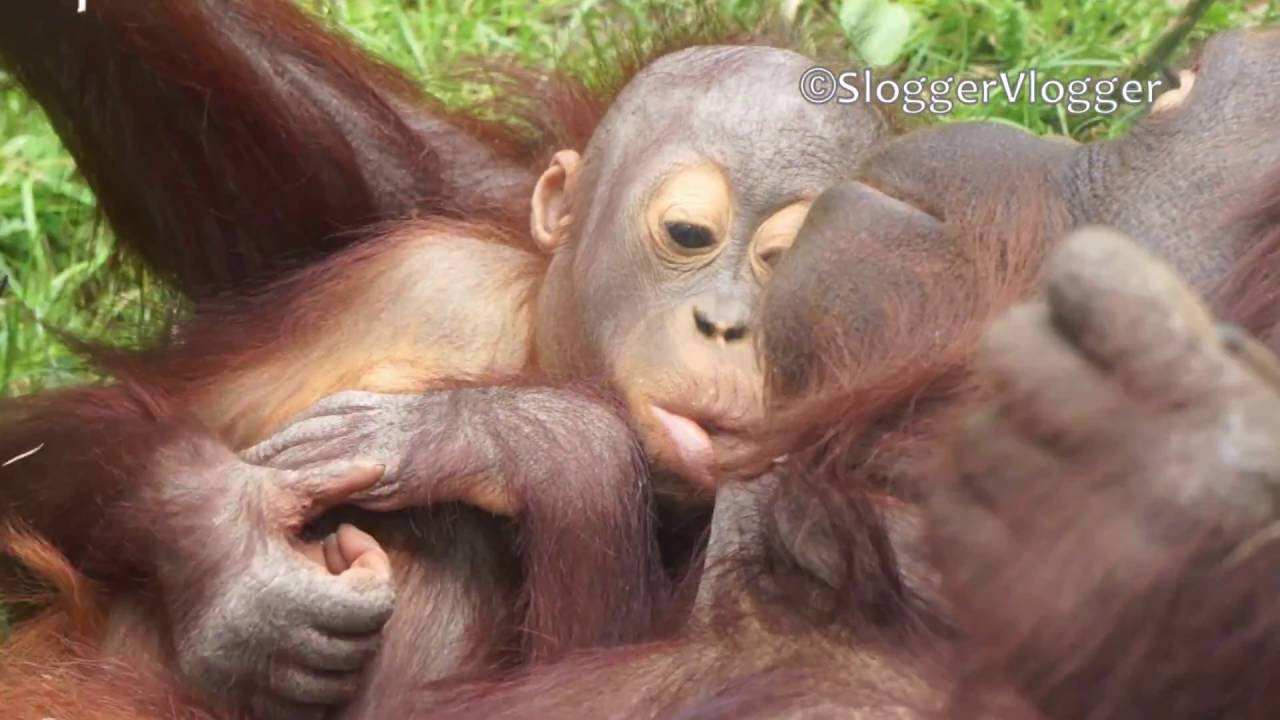 Orangutan Moms Are The Primate Champs Of Breast-Feeding