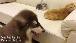 Nhà Mật đón thành viên mới, Mật doạ em mèo Munchkin sợ chết khiếp luôn ::)