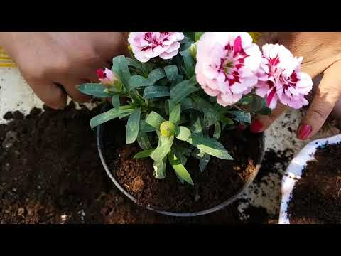 82. How to grow Dianthus./