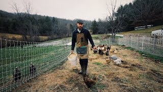 chickens-to-make-light-work-of-tilling-in-cover-crop