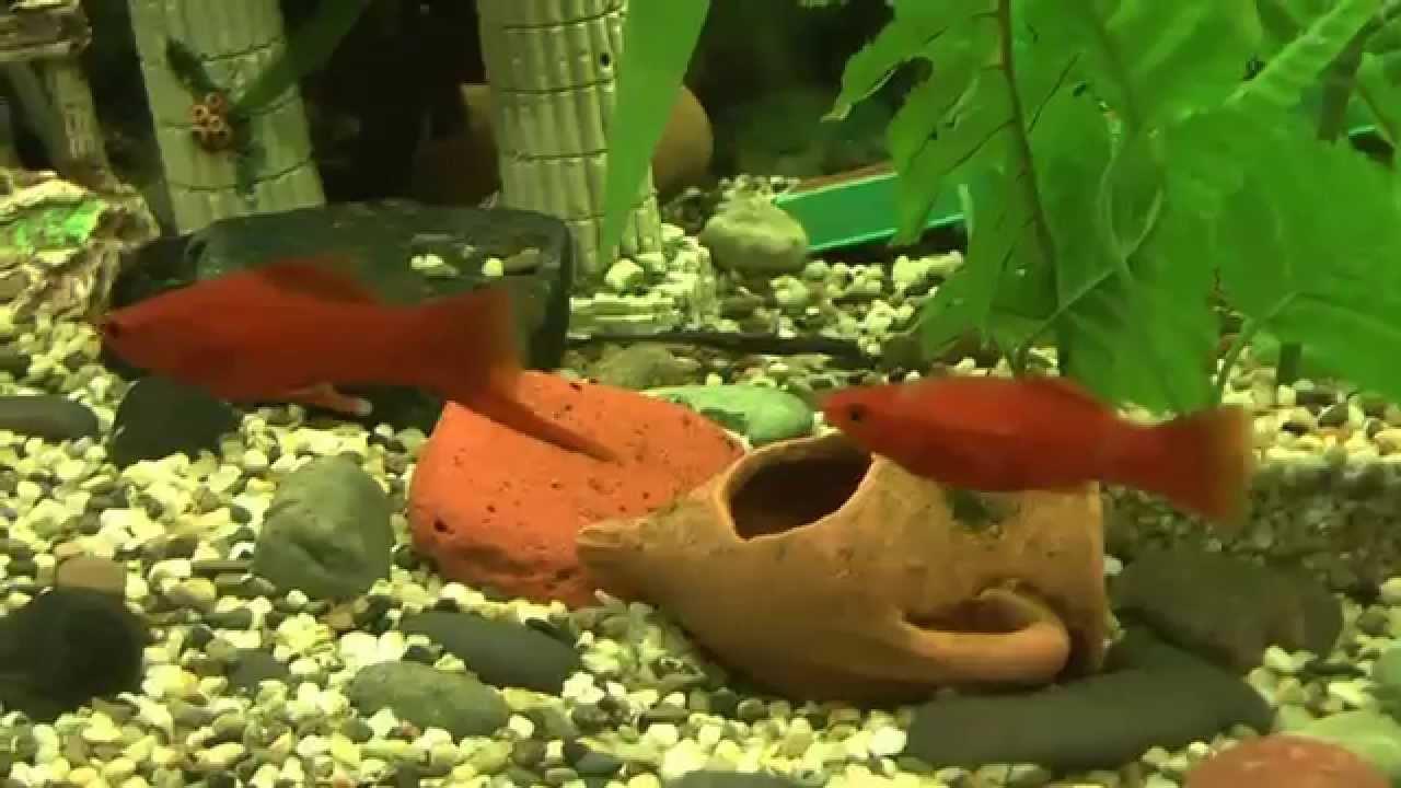 Il mio nuovo acquario da 200 litri pesci platy for Acquario tartarughe e pesci insieme