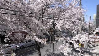 2020년 봄 합정동 벚꽃