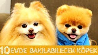 Evde ve Apartmanda Bakılabilecek 10 Zeki  Köpek Cinsi #KÖPEK #DOG #EVDEBAKILACAKKÖPEKLER