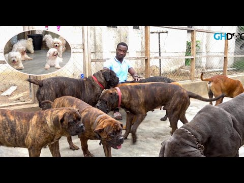 A visit to Richy's Kennel | Solid Bull Mastiff, Neapolitan Mastiff and Maltese Dog Kennel |