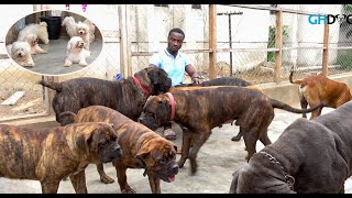 A visit to Richy's Kennel   Solid Bull Mastiff, Neapolitan Mastiff and Maltese Dog Kennel  