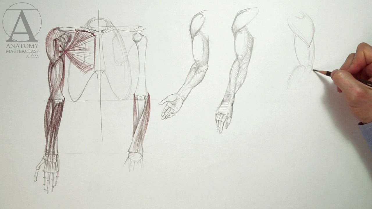 Anatomy Of The Arm Anatomy Master Class For Figurative Artists