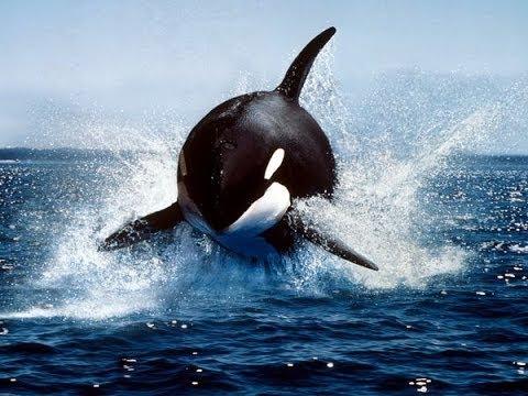 Killer Wale