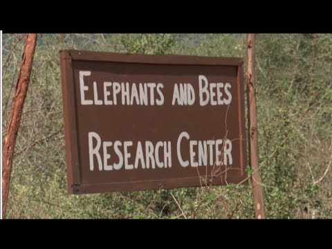 Elephants and bees: The small solution to Tsavo farmers huge woes