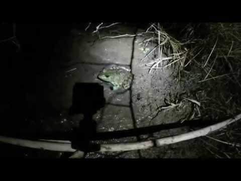 Blow Gun Frog Hunting