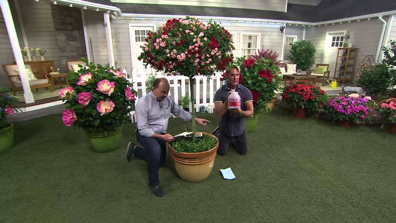 Cottage Farms 2 N 1 Burgundy U0026 Pink Iceberg Patio Rose Tree On QVC   YouTube