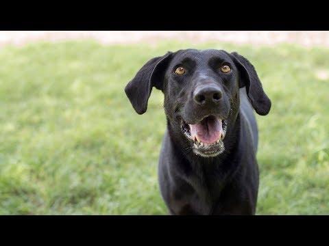 Rescued Weimaraner and German Shepherd Mix Dogs Having Fun
