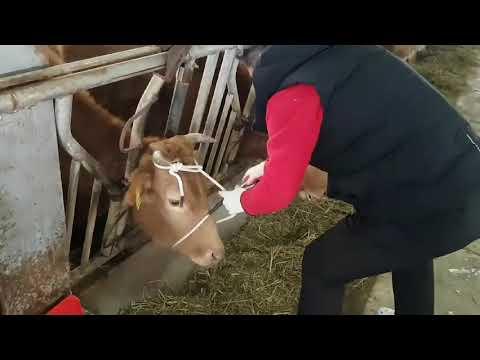 가축 고정장치 동영상