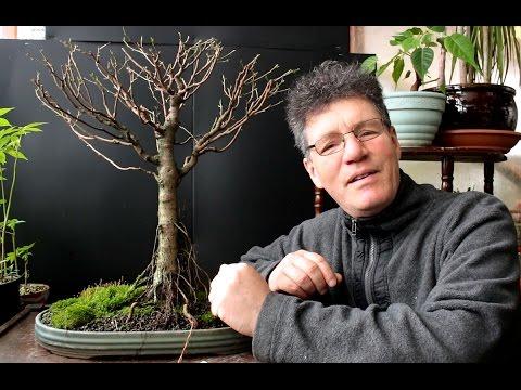 Pre Summer Work on a Ficus Bonsai, Part 2, Mar 2017