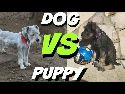 Schnauzer Dog VS Schnauzer Puppy Cute Funny Video