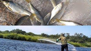 真夏の川で投網!!是政多摩川を一網打尽です 男の魚料理 thumbnail