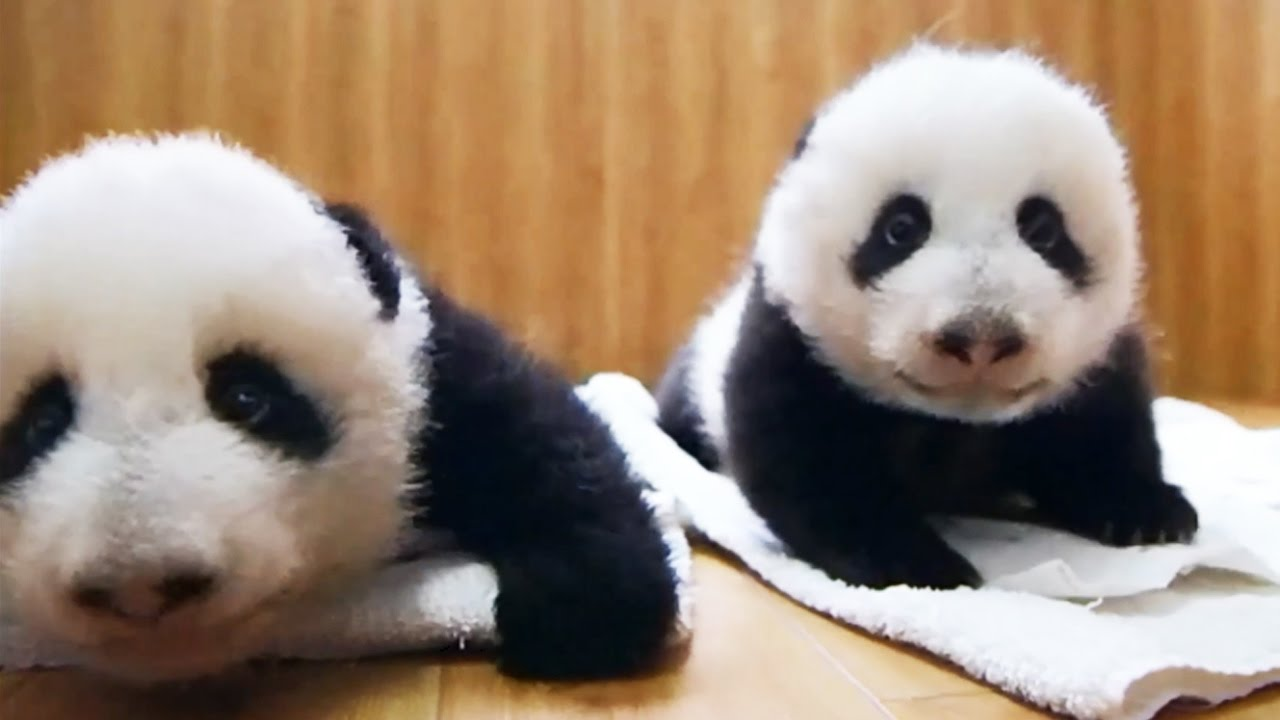 deux b b s pandas jumeaux sont adopt s zapping sauvage youtube. Black Bedroom Furniture Sets. Home Design Ideas