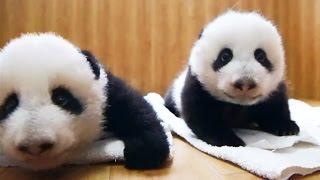 Deux bébés pandas jumeaux sont adoptés ! - ZAPPING SAUVAGE