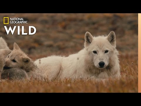 The Wolf Queen and Cubs | Kingdom of the White Wolf