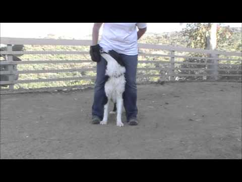 Between the legs trick - Taught to keep your dog safe from rattlesnake or as a trick