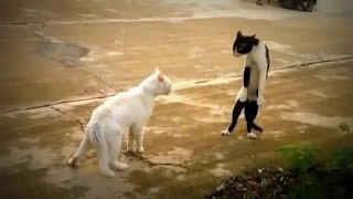 Gato peleando Kung Fu!