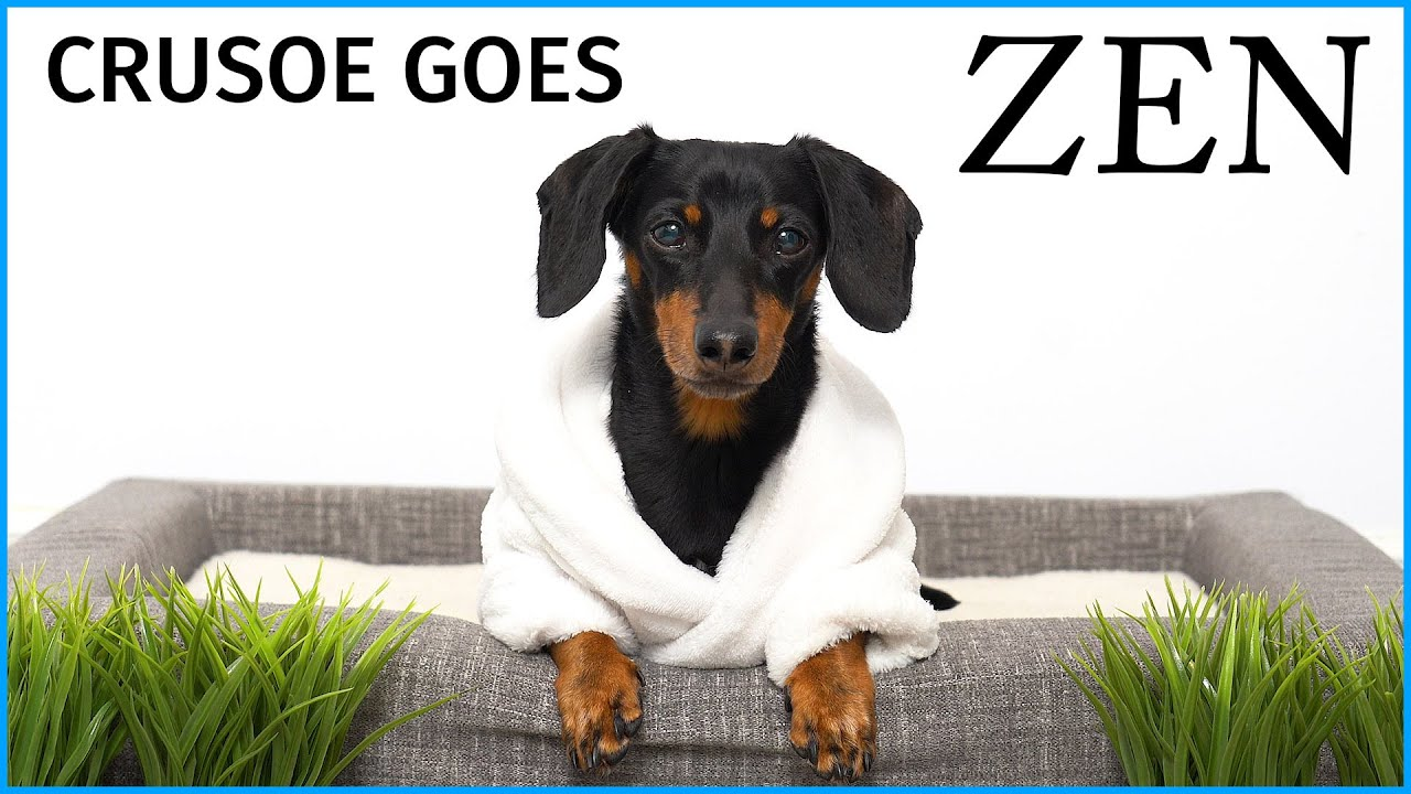"Download Crusoe Goes ""Zen"" with Petlibro Water Fountain - Cute Dachshund Video"