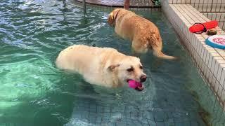 ぽっちゃり犬マル,泳ぐぽっちゃり犬,ミックス犬マル,ラブラドール,勝浦...