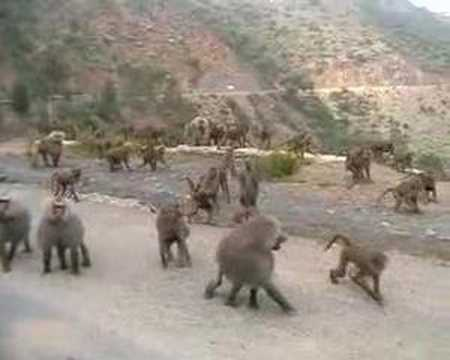 Baboons In Eritrea Youtube
