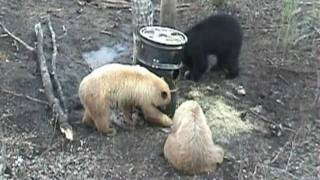 Alberta Black Bear Hunting - Action Packed Bait Sites - Trophy Size Bears - Beautiful Color Phases